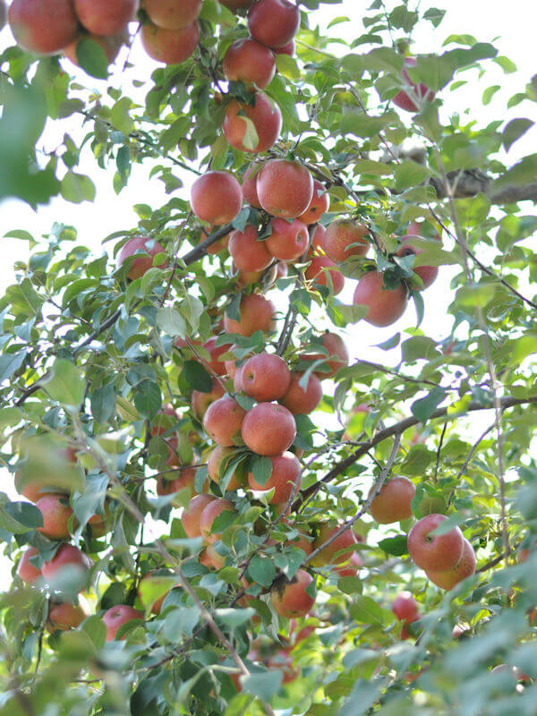 Apple Orchard 2